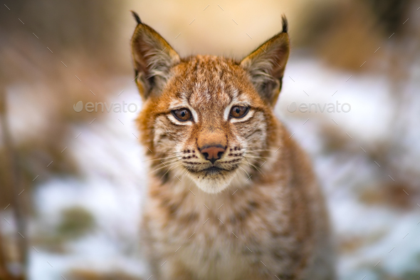 Portrait of eurasian lynx rests in the forest at early winter - Stock Photo - Images