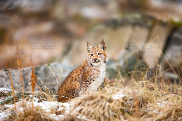 Eurasian bobcat sits in the forest at early winter - Stock Photo - Images