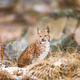 Eurasian bobcat sits in the forest at early winter - PhotoDune Item for Sale