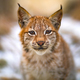 Portrait of eurasian lynx rests in the forest at early winter - PhotoDune Item for Sale