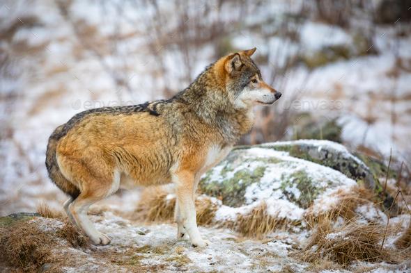 Focused wolf in the forest in early winter - Stock Photo - Images