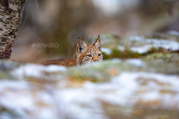 Playfull eurasian lynx lurking in the forest at early winter - Stock Photo - Images