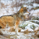 Focused wolf in the forest in early winter - PhotoDune Item for Sale