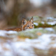 Playfull eurasian lynx lurking in the forest at early winter - PhotoDune Item for Sale