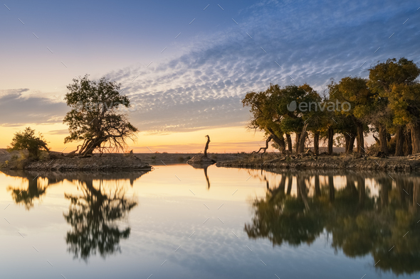 old poplar trees by the pond in autumn dusk - Stock Photo - Images
