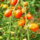 Organic date tomatoes - PhotoDune Item for Sale