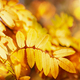 Autumn background with orange, yellow leaves and golden sun lights, natural bokeh. - PhotoDune Item for Sale