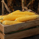Peeled maize cobs in wooden crate at corn field sunset summer time somewhere in Ukraine - PhotoDune Item for Sale