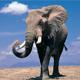 Elephant Roar