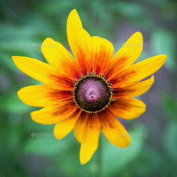 Blooming flower of rudbeckia - Stock Photo - Images