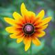 Blooming flower of rudbeckia - PhotoDune Item for Sale