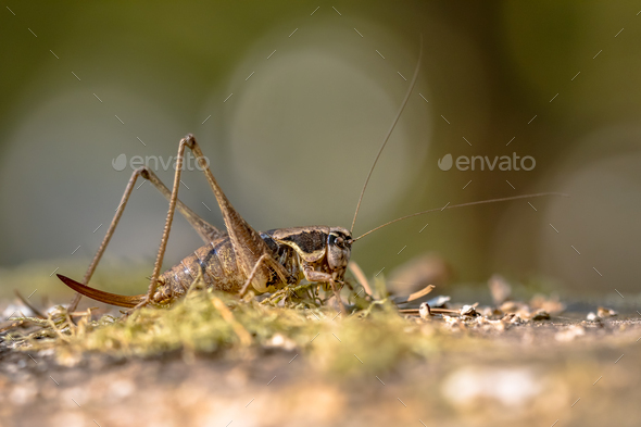 Southern wartbiter katydid grasshopper - Stock Photo - Images