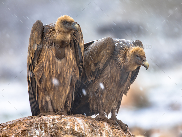 Griffon vulture couple perched on rock - Stock Photo - Images