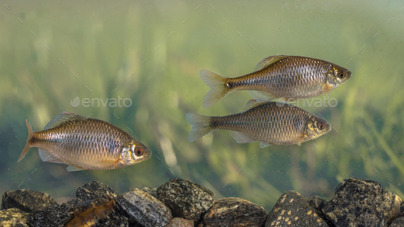 European bitterling natural environment - Stock Photo - Images