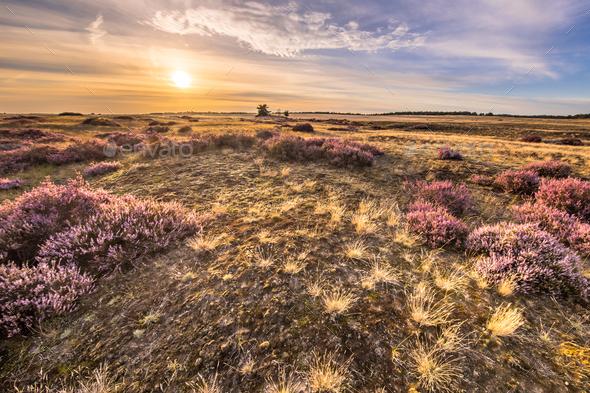 Blooming heath landscape scenery of heathland - Stock Photo - Images