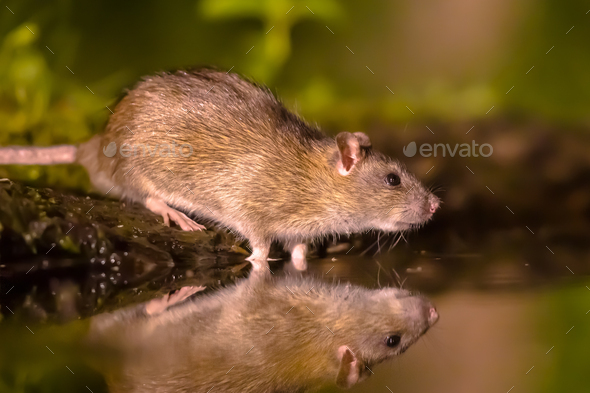 Brown rat in darkness drinking on river bank - Stock Photo - Images