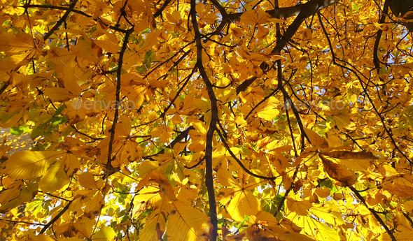 Beautiful yellow autumn leaves of a chestnut - Stock Photo - Images