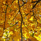 Beautiful yellow autumn leaves of a chestnut - PhotoDune Item for Sale