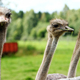 Beautiful ostriches - PhotoDune Item for Sale