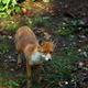 Beautiful red fox - PhotoDune Item for Sale