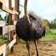 Beautiful ostrich - PhotoDune Item for Sale