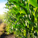 Dirt road through maize green field under blue sky in Ukraine - PhotoDune Item for Sale