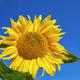 Sunflower over summer blue sky background - PhotoDune Item for Sale