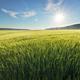 Meadow of wheat on sundown - PhotoDune Item for Sale