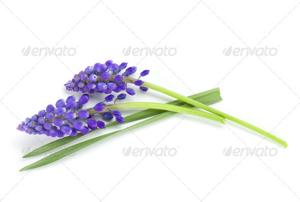 Lying blue hyacinth flowers - Stock Photo - Images