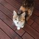 Beautiful tricolor cat walking on wooden terrace, posing, looking at camera - PhotoDune Item for Sale