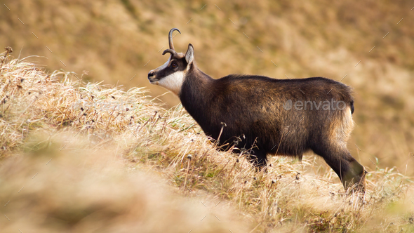 Tatra chamois with a broken antler standing on meadow with dry yellow grass - Stock Photo - Images