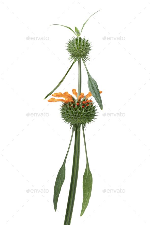 Leonotis Leonurus flower on white background - Stock Photo - Images