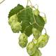 Twig of fresh green common hop - PhotoDune Item for Sale