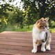 Beautiful tricolor cat walking on brown wooden terrace outdoor - PhotoDune Item for Sale
