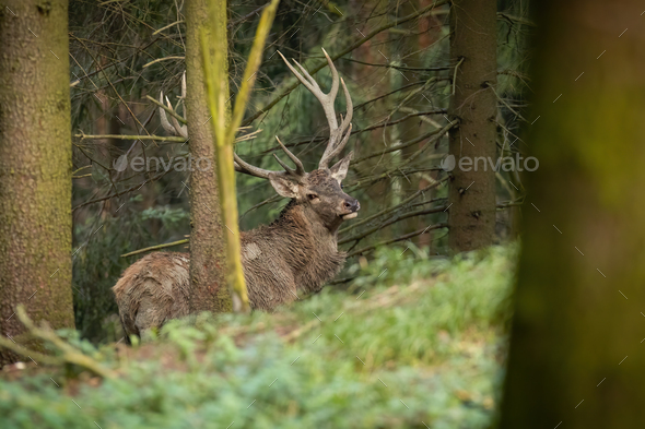 Red deer with big antlers standing in forest in autumn - Stock Photo - Images