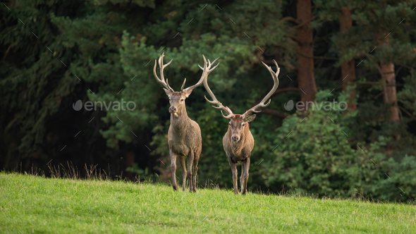 Two red deer stags approaching on a green meadow in autumn from front view - Stock Photo - Images