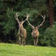 Two red deer stags approaching on a green meadow in autumn from front view - PhotoDune Item for Sale