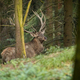 Red deer with big antlers standing in forest in autumn - PhotoDune Item for Sale