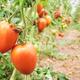 Organic tomato at greenhouse plantation, - PhotoDune Item for Sale