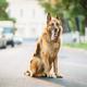 Alsatian Wolf Dog Sitting On Road. Brown German Shepherd Dog Sitting On Road In Sunny Summer Day - PhotoDune Item for Sale