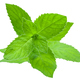 Fresh Peppermint, Méntha piperíta, on white background isolate - PhotoDune Item for Sale