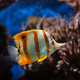 Copperband butterflyfish Chelmon rostratus - PhotoDune Item for Sale