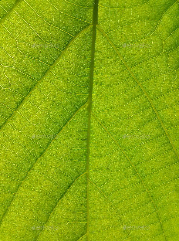 Green texture of Linden tree leaf - Stock Photo - Images