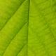 Green texture of Linden tree leaf - PhotoDune Item for Sale