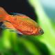 Tropical aquarium fish longtail barb Pethia Conchonius. Shallow depth of field - PhotoDune Item for Sale