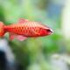 Aquarium fish red barb Puntius titteya on blurred background. Macro view, shallow depth of field - PhotoDune Item for Sale