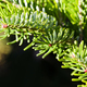 Natural spruce tree branches close-up photo. Sunny day light. macro view, shallow depth of field - PhotoDune Item for Sale