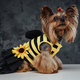 Yorkshire doggy weared in bee dress against dark background - PhotoDune Item for Sale