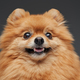 Pomeranian fluffy pet looking at camera against gray background - PhotoDune Item for Sale