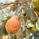 Ripe quince fruit in orchard - PhotoDune Item for Sale